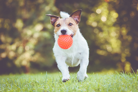 Happy pet dog running and playing fetch game with toy ball Stock Photo
