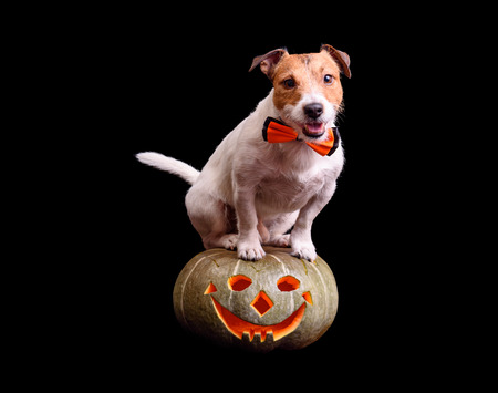 Cute dog with bow tie sitting on carved pumpkin Jack o lantern