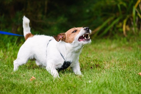 Angry dog aggressively barking and defending his territory Zdjęcie Seryjne - 108974427