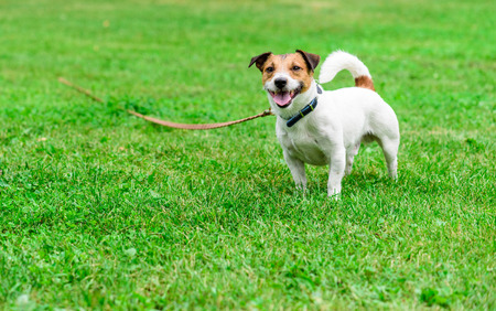 Jack Russell Terrier tethered with long line pet training lead Stock Photo