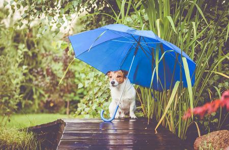 Cute dog hidings from rain under blue umbrella on wet wooden bridge Stock Photo