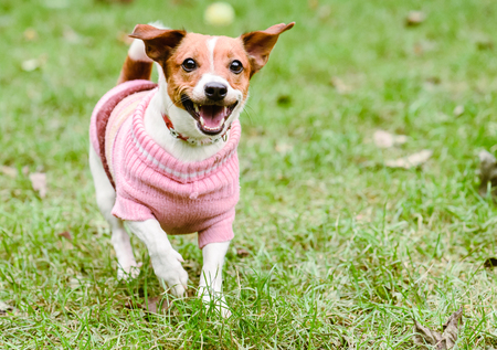 Happy dog wearing pink warm knitted sweater playing at fine fall (autumn) day Foto de archivo