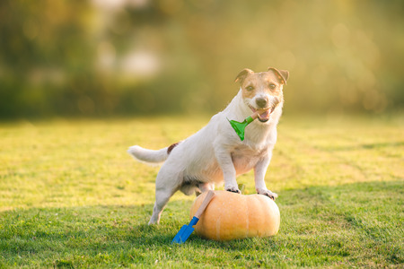Thanksgiving concept with dog and pumpkin on lawn Banco de Imagens - 111396351