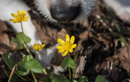 Springtime concept with dog nose sniffing first spring buttercups flower