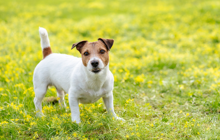 Dog in alerted pose focused and waiting for something on spring blooming lawn Stockfoto