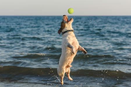 Jumping dog catching ball having fun at beach