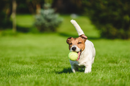 Happy dog runs and plays with tennis ball