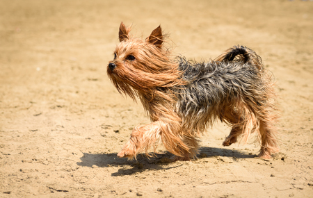 Yorkshire terrier dog with long hair walking on beach Stock Photo