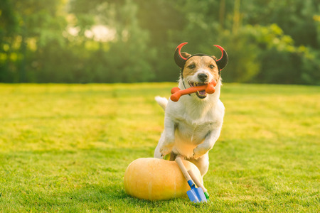 Dog wearing devil's horns next to fresh pumpkin
