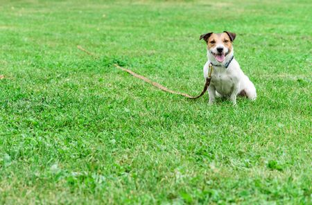 Jack Russell Terrier dog on tie-out long line leash