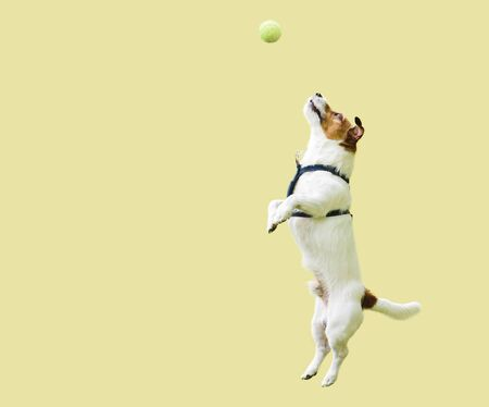 Jack Russell Terrier dog jumping straight