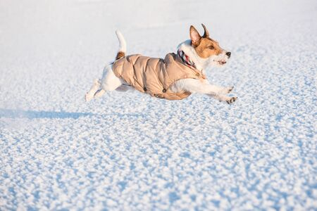 Dog wearing winter warm clothing running on snow
