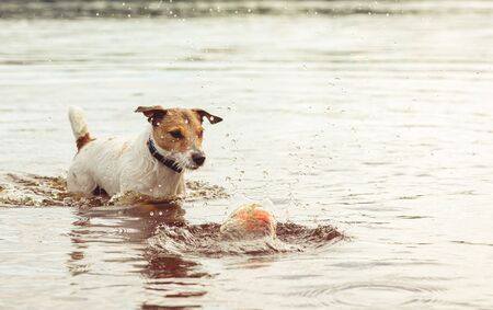 Dog with puzzled view looking at toy ball in water