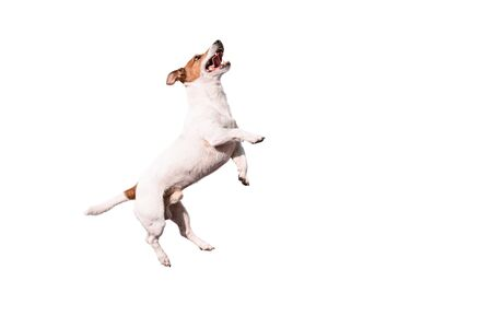 Funny Jack Russell Terrier dog jumping up Stok Fotoğraf