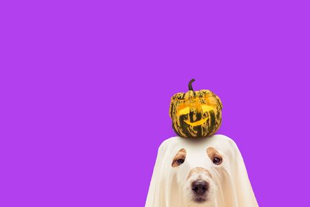 Dog in Halloween costume of ghost holding pumpkin on head