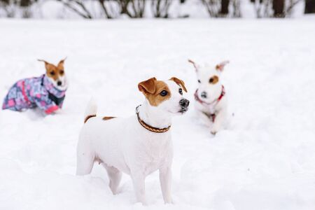 Group of Jack Russell Terrier dogs walking together playing in snow Stockfoto
