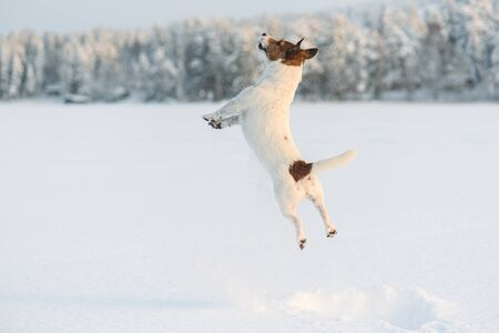 Dog playing and jumping high with snow splashes on frozen lake Banco de Imagens