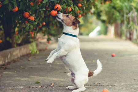 Dog fond of tangerines trying to steal low hanging fruit from tree branch 免版税图像