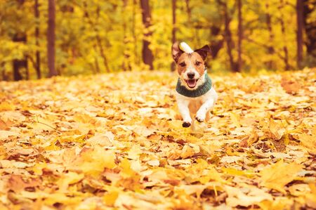 Playful dog running and romping at lawn covered with colorful fallen autumn leaves