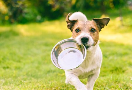 Głodny lub spragniony pies przynosi metalową miskę po paszę lub wodę