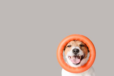 Happy dog with circle puller toy on head against gray background