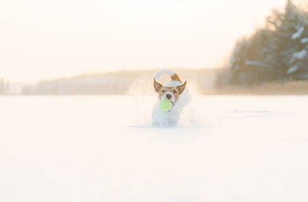 Happy and playful dog playing fetch with tennis ball on lake ice jumping into snow