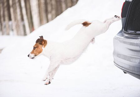 Winter holiday traveling with pet concept - dog jumping out of car trunk on snow
