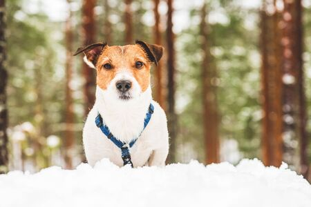 Portrait of dog in snow during morning walk in forest