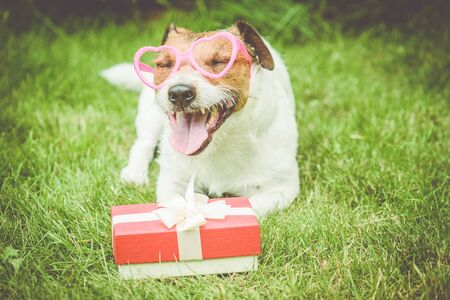 Valentines day gift box next to happy dog wearing heart shaped glasses Фото со стока