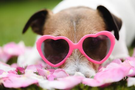 Romantic dog wearing heart shaped pink glasses as symbol of Valentine's day