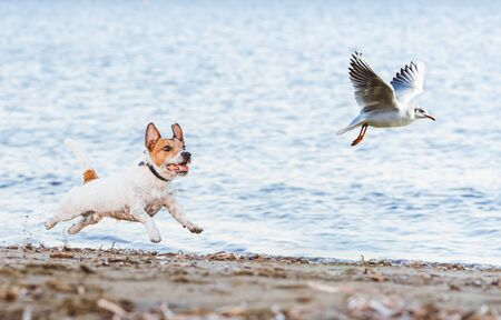 Naughty Dog chasing gull bird playing on beach