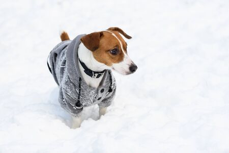 Cute Jack Russell Terrier dog wearing hoodie covered with snow