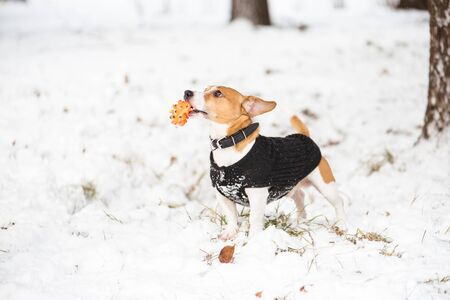 Funny small Jack Russell Terrier dog with toy wearing black sweater