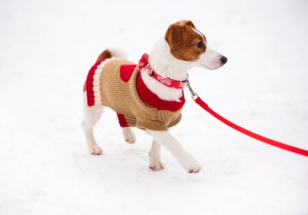 Elegant dog walking on snow wearing Christmas costume and festive collar