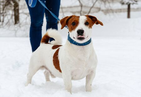 Dog walking on retractable leash standing on snow