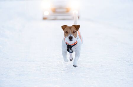 Dog running on slippery winter road and car coming from behind Фото со стока
