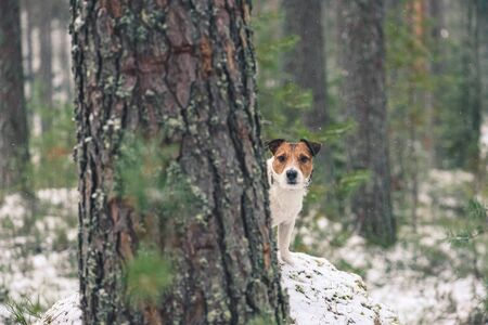 Dog walking in wild nature playing hide-and-seek behind tree