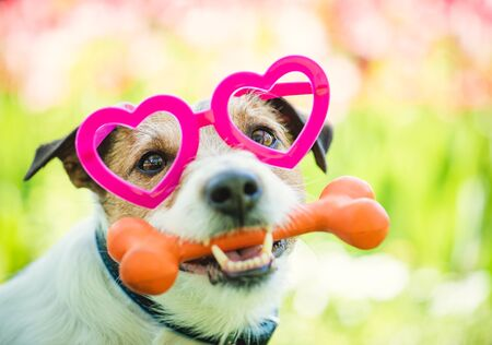 Lovely dog wearing heart shaped glasses holds bone as Valentines day gift 写真素材