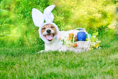Lying on grass dog as happy bunny ready for Easter (Pascha) parade