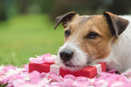 Romantic sad and candid dog laying on Valentines day present box