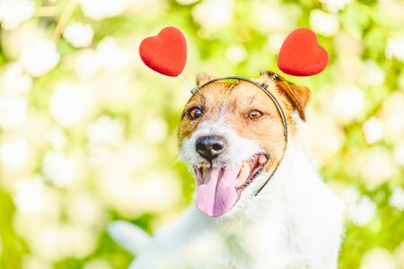 Happy dog wearing headband with hearts as Valentine day concept