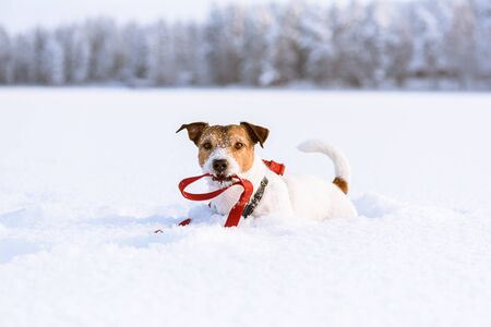 Winter fun and outdoor pursuit with pet concept - dog holding in mouth its own leash lying on snow 写真素材