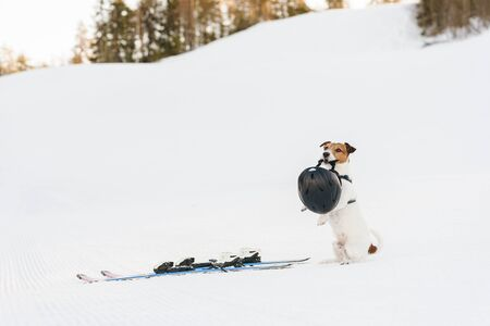 Safety precautions in sport concept with dog holding ski helmet in mouth