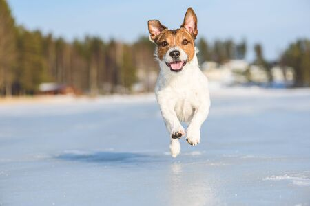 Happy and ebullient dog playing and running on ice of frozen lake on beautiful sunny winter day 写真素材