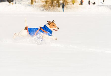 Happy joyful dog running and leaping on snow in public park on sunny winter day