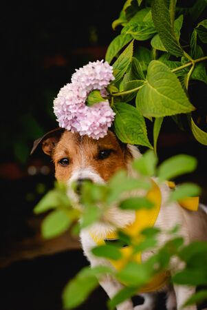 Dog playing hide-and-seek in garden hiding behind pink flowers