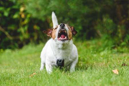 Dog howling and barking guarding backyard (front view) Stock Photo
