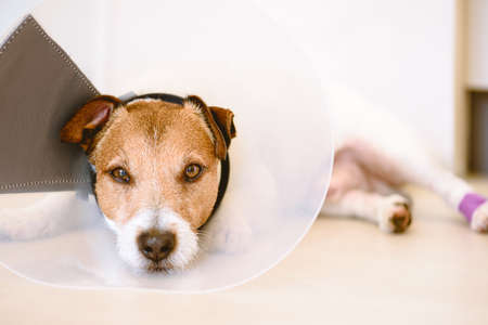 Adorable injured dog with bandages on paw wearing Elizabethan collar resting on floor on sunny day