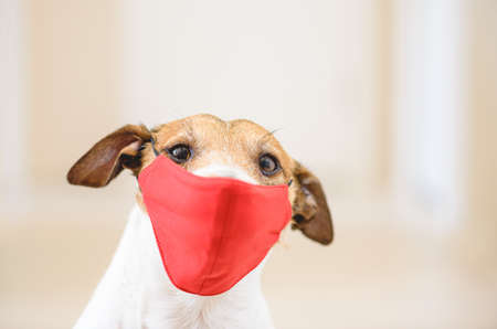 Funny dog wearing red medical face mask for protection against virus