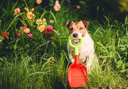 Dog as funny amateur gardener planting rose flowers Stock fotó